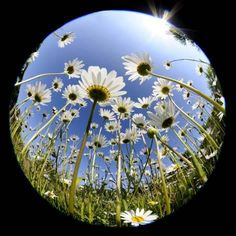 Photographic Print: Oxeye Daisy Veiwed Through Fish-Eye Lens, Devon, UK, June 08 by Ross Hoddinott : 16x16in