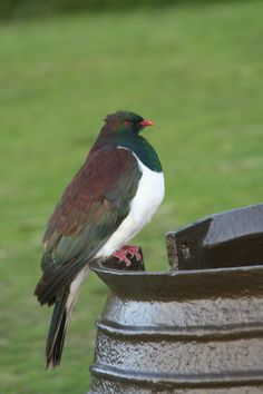 Kereru, the New Zealand Pigeon for Craig lol