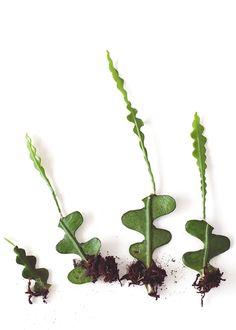 De meest cartooneske plant van allemaal. Echt een plant om vrolijk van te worden, met z'n bijzondere vormen. Als hij gelukkig is, word je ook nog eens beloond met bijzondere witte bloemen in het voorjaar. Het is een tropische cactus die niet per se in de volle zon hoeft te staan, maar met een plek met indirect licht zeer tevreden is. Hoe stek je de Zaagcactus? Een Zaagcactus, en andere Epiphyllums, kun je vrij makkelijk stekken. Van één blad kun je al meerdere nieuwe planten kweken. Snij het… Air Plants, Garden Plants, Indoor Plants, Inside Garden, Growing Greens, Nature Tree, Tropical Garden, Dream Garden, Indoor Garden
