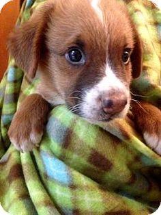 Colton, CA - Golden Retriever/Husky Mix. Meet ! 6 Kingsman, a puppy for adoption. http://www.adoptapet.com/pet/13724228-colton-california-golden-retriever-mix