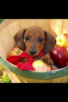I love dachshunds