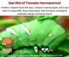 Get rid of Tomato Horn worms.