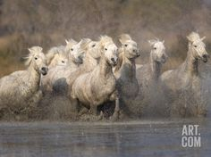 White Camargue Horses Running in Muddy Water, Provence, France Photographic Print by Jim Zuckerman at Art.com