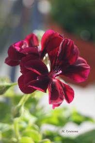 Мушкато (Pelargonium)   ПЪСТРИ МОМЕНТИ - Фотоблог