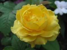 A yellow Rose was my Mom's favorite flower. I like to plant them in the Spring to remember her. May she rest in peace.