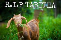 6:4 Here's not Here - Tabitha the goat killed by zombies in season 5 episode, aired November 2015. Played by a goat named Ruby #Tabitha #Goat #TheWalkingDead