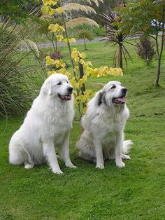 The Great Pyrenees #dogs