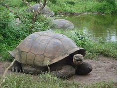 Galapagos tortoises.