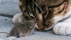 Uma quantidade razoável de pesquisas debruçaram-se no Toxoplasma gondii, o parasita bizarro que faz os ratos perderem o medo dos gatos, e o último capítulo é ainda mais estranho.