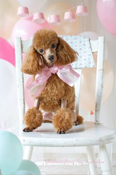 poodle with balloons