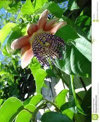passion fruit flower - Buscar con Google