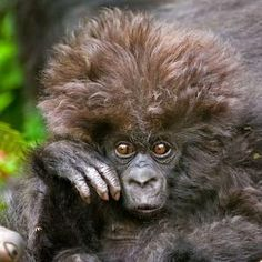baby mountain gorilla by rosalyn