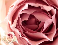 Uhuru Flowers - Producers of superior quality cut roses :: Varieties Raw Chocolate, Pale Pink, Pink Roses, Superior Quality, Flowers, Color, Colour, Royal Icing Flowers, Flower