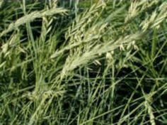 South Dakota State Grass -  Western Wheat Grass