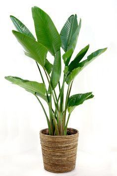 Strelizia Indoor Trees, Indoor Plants, Types Of Houseplants, Birds Of Paradise Plant, House Plants Decor, Plants Are Friends, Foliage Plants, Green Plants, Artificial Plants