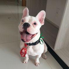 Happy boy!!!  Good night everyone  #ramonfrenchie #frenchie #frenchies1 #frenchielove #frenchbulldog #frenchiesofinstagram #flatnosedogsociety #thefrenchiepost #theworldofbullies #LOVEABULLY #lacyandpaws #bulldogfrances #bullylife #handsomedog #happydog #cute #dogsofinstaworld #dog #deafdog #doglover #deafdogsrock #dogsofinstagram #pawsandpaws #followme by ramon_frenchie