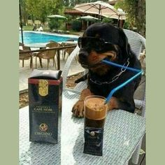 Even the dogs like Organo Gold Coffee!!!!