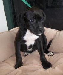 Labrador Mixed With Boxer
