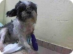 Brooklyn, NY - Shih Tzu. Meet CINDY, a dog for adoption. http://www.adoptapet.com/pet/11084416-brooklyn-new-york-shih-tzu