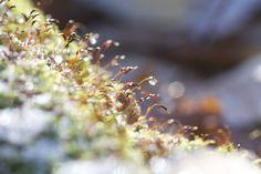 #moss by Resurrection Fern #macro #studiopaars