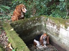 They found Tillie on the edge of a cistern and realized she had been looking over Phoebe, who had been physically unable to get out of it for the past week. | A Dog Kept Watch Over Her Trapped Best Friend For A Week Until Help Arrived