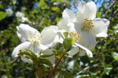 "Learn all about mock orange shrubs here, in an article that focuses on the cultivar, Philadelphus x virginalis 'Minnesota Snowflake.' The name, ""mock orange"" may sound strange to some, but the concept is the same as that behind ""mock turtle"" (like the character in Alice's Adventures in Wonderland): http://landscaping.about.com/od/shrubsbushes/p/mock_orange.htm"