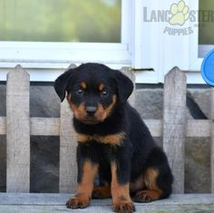 #Rottweiler #Charming #PinterestPuppies #PuppiesOfPinterest #Puppy #Puppies #Pups #Pup #Funloving #Sweet #PuppyLove #Cute #Cuddly #Adorable #ForTheLoveOfADog #MansBestFriend #Animals #Dog #Pet #Pets #ChildrenFriendly #PuppyandChildren #ChildandPuppy #LancasterPuppies www.LancasterPuppies.com Rottweiler Puppies For Sale, Lancaster Puppies, Beautiful Farm, Animals Dog, Mans Best Friend, Snuggles, Puppy Love, Pets, Children