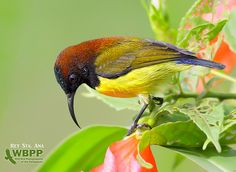 Flaming Sunbird: Endamic to the Philippines. Same family as the spiderhunters