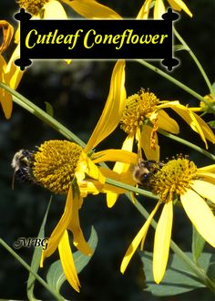 Best Butterfly Plants for Gardens- The Cutleaf Coneflower (Rudbeckia laciniata) is a giant coneflower variety that's a favorite nectar source for bumble bees and late season monarch butterflies.