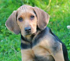 possible future friend for my dog Hound Dog, Kisses, Doggies, Labrador Retriever, Hunting, Polish, Puppies, Future, Fun