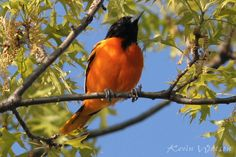 Photo Gallery :: Birds of the Northeast US :: 36 Baltimore Oriole