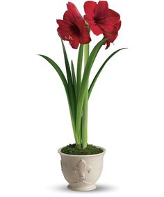 Merry Send wishes with this merry amaryllis! A tradition, this bulb plant features and green leaves. Presented in a French country pot they can use all year long.A red amaryllis plant is potted in a ceramic pot with Christmas Plants, Christmas Flowers, Amaryllis Plant, Plant Delivery, Flower Pot Design, Order Flowers Online, Same Day Flower Delivery, Planting Bulbs, Types Of Flowers