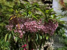 Kalmia Latifolia 'Carousel' from Burncoose Nurseries available online to buy - Information: white flowers heavily marked with bright red-purple inside. Evergreen - oval to elliptic-lance-shaped, glossy. dark-green leaves to long. Kalmia Latifolia, Flowering Shrubs, Nurseries, Red Purple, Carousel, Green Leaves, Garden Plants, Evergreen, Garden Landscaping