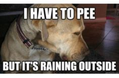 This is so Diamond when it rains! I my spoiled Pitbull!