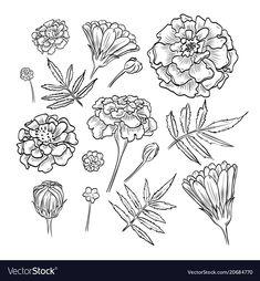 Hand drawn elegant marigold vector image on VectorStock Marigold Tattoo, Marigold Flower, Tattoo Floral, Birth Flower Tattoos, Flower Tattoo Drawings, Illustration Blume, Botanical Illustration, October Birth Flowers, Hand Drawn Flowers