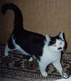i love cats that look like Hitler.