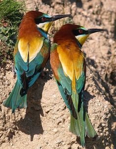 The European Bee-eater (Merops apiaster) is a near passerine bird in the bee-eater family Meropidae. It breeds in southern Europe and in parts of north Africa and western Asia. It is strongly migratory, wintering in tropical Africa, India and Sri Lanka.