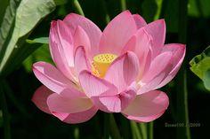 Lotus Unfolding by desmo100.deviantart.com on @deviantART