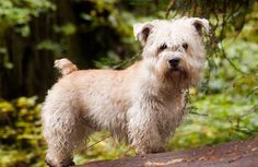 Glen of Imaal Terrier   Breed History, Information and Pictures - Pet360 Pet Parenting Simplified
