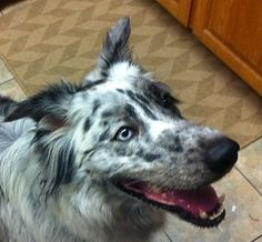 WRANGLER is an adoptable Australian Shepherd Dog in Dallas, TX. Welcome to DASH Dog Rescue! MORE PHOTOS SOON! WRANGLER IS GENTLE! SMART! LOVES EVERYONE! CUDDLY! Wrangler is a wonderful, affectionate a...