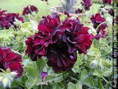 wunder geranie candy flowers r geranien geranien pinterest mein garten. Black Bedroom Furniture Sets. Home Design Ideas