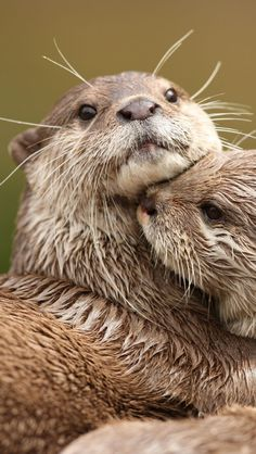 Otter Cuddle Up