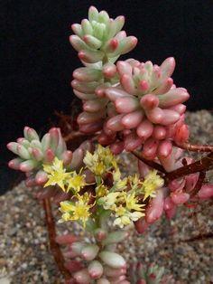 Sedum rubrotinctum aureum