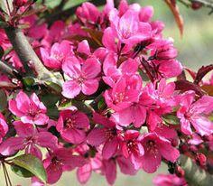 Prairifire Flowering Crabapple - Flowering Crabapple Trees - Willis Orchard Company