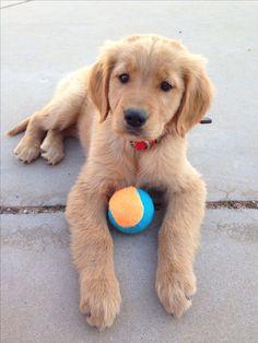 golden retriever Darby! Such a sweet girl!