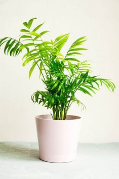 How To Care For A Parlor Palm (Chamaedorea elegans) – Smart Garden Guide - Modern