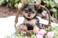 #YorkshireTerrier #Charming #PinterestPuppies #PuppiesOfPinterest #Puppy #Puppies #Pups #Pup #Funloving #Sweet #PuppyLove #Cute #Cuddly #Adorable #ForTheLoveOfADog #MansBestFriend #Animals #Dog #Pet #Pets #ChildrenFriendly #PuppyandChildren #ChildandPuppy #LancasterPuppies www.LancasterPuppies.com Mans Best Friend, Best Friends, Lancaster Puppies, Yorkshire Terrier Puppies, Animals Dog, Puppies For Sale, Say Hello, Puppy Love, Teddy Bear