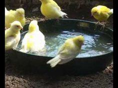 Very funny birds take a bath - YouTube