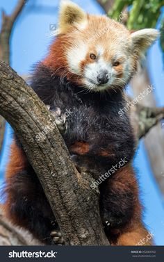 Red Panda Lookout Stock Photo 452083702 : Shutterstock