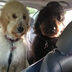 Did somebody say car ride? Labradoodles, Goldendoodles, I Want To Cuddle, Doodle Dog, Collie, Puppy Love, Cuddling, Puppies, Pets